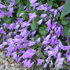Campanula 'Birch Hybrid'. Can get other varieties & colours.