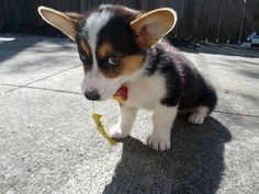 Do you love cute animals? Dig into this heart-melting selection of adorable little beings, cute puppy pictures and all kind of fluffy animals. Cute Corgi Puppy, Corgi Dog, Cute Puppies, Dogs And Puppies, Dog Cat, Baby Corgi, Pet Dogs, Cutest Puppy, Baby Puppies