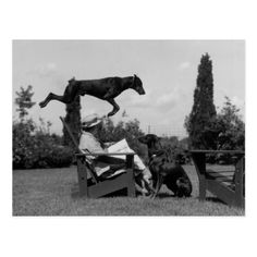 """bookporn: """"How cool you have to be to read while your Doberman jumps over you? natgeofound: """" Leaping skills make Doberman pinschers into great """"police dogs. Dog Photos, Dog Pictures, Pitbull, National Geographic Archives, Doberman Love, Police Dogs, Military Dogs, Mundo Animal, Doberman Pinscher"""
