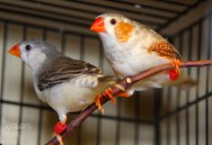 Zebra Finch - Loki & Lorelei enjoying the sunniest spot inside of their cage ~ Penguin BB Zebra Finch pair. (Photo by Randy Hume)  |  TWFA 2014