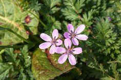 De reigersbek  ( Erodium cicutarium )