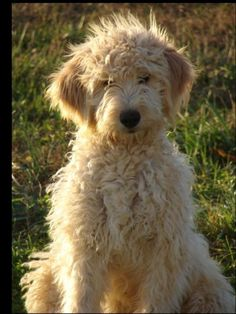 goldendoodle adorable-animals