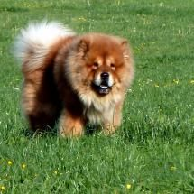 """Looks like my 1st chow chow """"Chewy"""" R.I.P. :("""