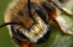 solitary bee art by macrojunkie on DeviantArt