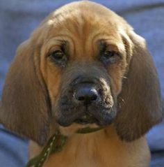 What is some basic information about bloodhound puppies?