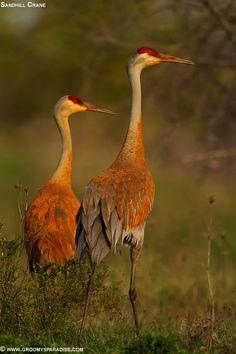 Sandhill Crane - Pair by  Anupam Dash on 500px.com