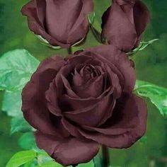 Beautiful Brown Roses.