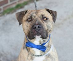 · Edited ·    ·  TO BE DESTROYED - 03/22/15 Brooklyn Center**NEW PHOTO**  My name is RUSTIK. My Animal ID # is A1030670. I am a male br brindle and white am pit bull ter mix. The shelter thinks I am about 1 YEAR 9 MONTHS old.... See More — with Karen Miller Herbert, Keithea Schaedler, Suzie Reece, Nicole Vinicky, Sarah Sugars, Debra Keller, Michele Eckhardt Gysen, Joanne B. Nassar, Erica Ann and Elizabeth Elmore.