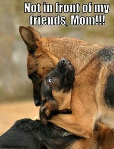 Not in front of my f Not in front of my friends!.. #german #shepherds #dogs