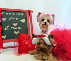 Coco Khloe This Valentine's Day  we're looking for LVE real love! The one that's ridiculous inconvenient consuming can't live without ea. other LVE  Any takers?  I'm joining the #PawentinesDay2016 by @reina.jax.arya @yorkie_zoe @yorkiepupi @diesel_minnie @beingmissreese @littlebell_andtimmy and @ntkachenko12. I'm from CA.  by adorableakcyorkies