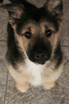 "German Shepard pup, The best dogs ever! personality, sooo loyal and protective and come on, looks, really cute puppies and then sooo ""Regal"" as adults. Animals And Pets, Baby Animals, Funny Animals, Cute Animals, Wild Animals, Cute Puppies, Cute Dogs, Dogs And Puppies, Doggies"