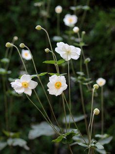 シュウメイギク 秋明菊 キク科ではなくてキンポウゲ科。Anemone hupehensis