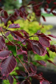 The stunning foliage of our resident show-stoppers in our newly installed arboretum: Fagus sylvatica 'Roseomarginata' and Acer shirasawanum 'Aureum.' When choosing 'specimen plantings' it is always a wise choice to create dramatic contrast whenever possible! Beech Tree, Garden Trees, Acer, Fountain, Plant Leaves, Contrast, Purple, Create, Plants