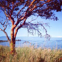 Arbutus Trees at Piper's Lagoon Tree Photography, Color Photography, Arbutus Tree, Tree Chair, Vancouver Island, Acrylic Art, The Great Outdoors, Trees, Adventure