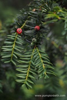 Yew can be used in many ways in the garden, it's ideal if you're thinking of planting an evergreen hedge, yew can be clipped and grown as topiary, or if you have a large garden, you might want to include a yew tree. Yew berries, also known as arils, are a popular food for blackbirds and greenfinches in the winter months.