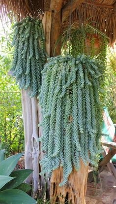 Donkey Tails: Perhaps the most fun thing about succulents is their creative animal anatomy names. These donkey tails drape down in the most fabulous way. Try hanging yours in one of these planters. (via Nafeuse Magazine) #houseplants