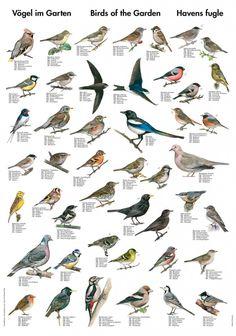 Perfekt gave til fugle titteren. Dekorativ natur plakat på kunstpapir. 40 x 60cm.
