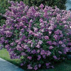 Lavender Lady Lilac (Syringa vulgaris Lavender Lady) - Doesn't need cold winters to bloom!