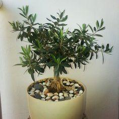 Olivewood Bonsai