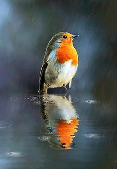 #Robin in The Rain