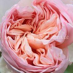 Alexandrine - Rosen online kaufen im Rosenhof Schultheis Cut Flowers, Fresh Flowers, Cut Flower Garden, David Austin Roses, English Roses, Clematis, Orange, Garden Projects, Pink Roses