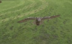Wild eagle owl swooping in slow motion coruja Baby Animals, Funny Animals, Cute Animals, Funny Birds, Owl Gifs, Wild Eagle, Gif Animé, Animated Gif, Tier Fotos