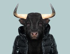 Spanish-Bull---Bos-Taurus-copia