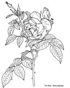 tea rose to color