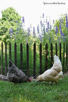 Use a picket fence to keep chickens out of the garden - they prefer jumping onto something solid, so the spaces on the picket fence deter it more.