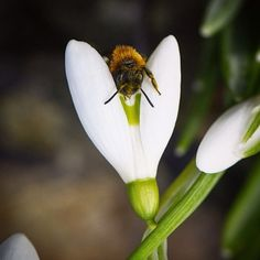 On n'avait pas prévu de poster de message aujourd'hui mais on vient de s'apercevoir qu'on avait des perce-neige dans le jardin. Et alors que j'étais allongé à l'envers dans la terre une abeille est sortie d'un coeuuuur   #aujourdhuionlajouecucul #pasdehastagsaintvalentin #onelove  #perceneige #abeille #coeur #proxi