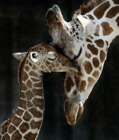 I love the giraffes.