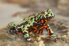 a frog on a black surface: A captive Oriental fire-bellied toad (Bombina orientalis) imported into Europe from South Korea. The global pet trade is partially to blame for the spread of Bd, a deadly fungus that can infect nearly 700 species of amphibians.