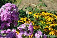 10 Easiest flowers to grow in Oklahoma and other gardens too. | Phlox paniculata and rudbeckia | Red Dirt Ramblings