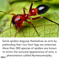 Some spiders disguise themselves as ants by pretending their two front legs are antennae. More than 300 species of spiders are known to mimic the outward appearance of ants, a phenomenon called Myrmecomorphy. Random Science Facts, Spiders, Ants, Spider, Ant