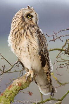 """Short Eared Owl by Tony House; """"Short Eared Owl taking a break from hunting, shot using the car as a hide."""""""