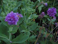 geranium,kurjenpolvi