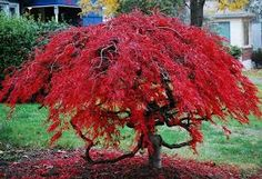 dwarf japanese maple - Google Search