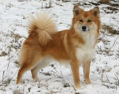 Icelandic Sheepdog, like Oki but with a little more hair lol