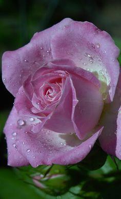 Beautiful Rose Flowers, Unusual Flowers, Romantic Roses, Love Rose, Flowers Nature, Amazing Flowers, Beautiful Flowers, Purple Roses, Pink Flowers