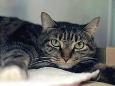 NYC has 23 Cats/Kittens on their TO BE DESTROYED list for tomorrow, May 16'14 !!!!!   Please NYC - ENOUGH of your KILLING!! STAFF FAVORITE! My name is LOLA. My Animal ID # is A0996309. I am a spayed female brn tabby and white domestic sh mix. The shelter thinks I am about 4 YEARS old. https://www.facebook.com/Urgentdeathrowdogs/photos_stream#!/media/set/?set=a.791376834213639.1073742304.220724831278845&type=3
