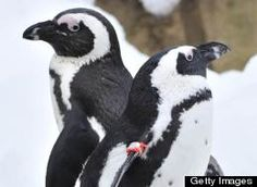 Historical documents reveal penguins' sexual depravity