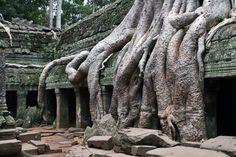Ta Promh, Angkor (Camboya).  Este templo, aunque más pequeño que Angkor Wat y Bayon, es sin duda el más impresionante debido a que los árboles lo han, literalmente, engullido.