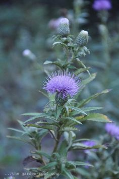 Cirsium altissimum 'Tall Thistle'
