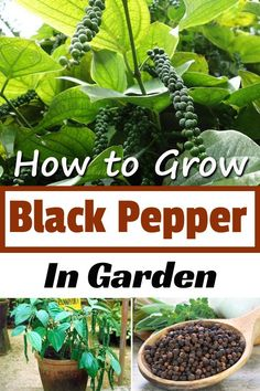 Learn how to grow black pepper (peppercorn) in your garden; it is one of the most popular and most essential spices in the world. to grow Black Pepper Plant, Pepper Plants, Growing Herbs, Growing Vegetables, Vegetable Garden, Garden Plants, Balcony Garden, Flower Gardening, Herb Gardening