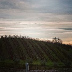 Wineyard of Monte Solaio in Campiglia Marittima, Tuscany.