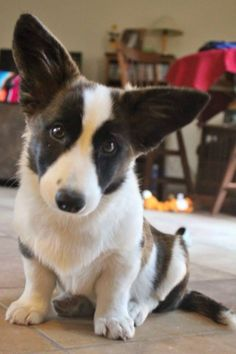 Beautiful Cardigan Corgi! What big ears you have, maybe you'll grow into them
