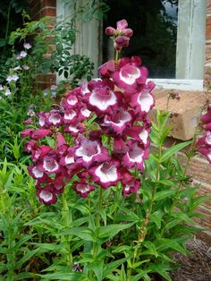 2) Beard Tongue - Known as Beard tongue, this perennial is better called penstemon when shopping, as it is more common. This flowing plant with blooms of bright red, blue, pink, purple, yellow, variegated and white (rare) is drought-tolerant, but requires good soil drainage. Some species attract hummingbirds - Image : © Louisa Billeter / Flickr