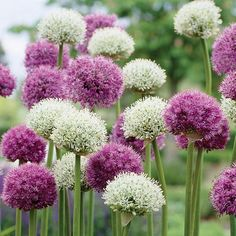 Popular #Allium Purple Sensation, is even more striking when it's paired with the big white globes of Mount Everest. These easy care bulbs are similar in height, flower at about the same time in late spring, and will re-bloom year after year. Deer won't eat and they make great cut flowers.