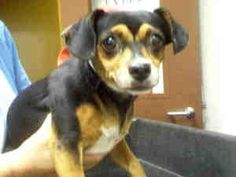 A3200192 is an adoptable Chihuahua Dog in Phoenix, AZ.  ...