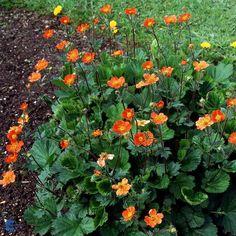Red-orange Avens (Geum coccineum 'Borisii'), zone 8